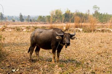 Buffalo, Buffalo Thailand, animals,close up eye ,close up eye,nose