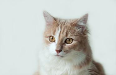 pet ginger cat