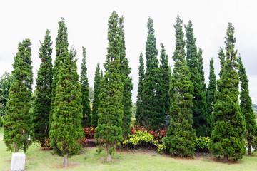 Group of pine tree.