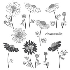 Chamomile, isolated elements for design on a white background. Vector illustration