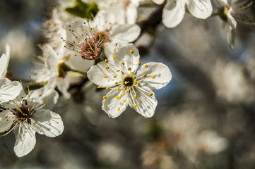 Macro Central Cherry blossoms