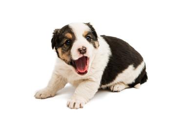 Alabai puppy isolated