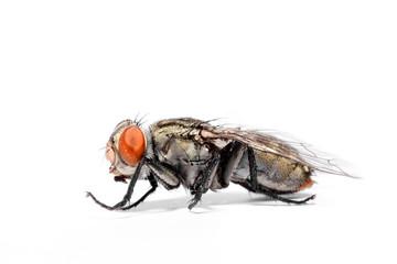 close-up of House fly isolated on white background