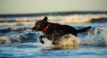 Black Labrador Retriever dog running through the shallow ocean water with waves