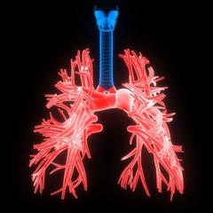 Human Body Organs (Lungs) Anatomy