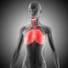 Human Body Organs (Lungs)