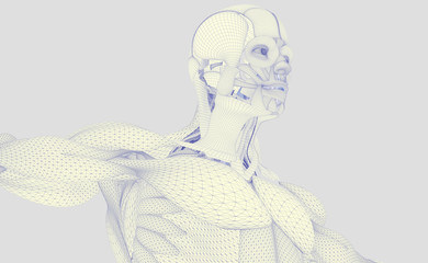 Anatomy man. Wire-frame texture. Futuristic interface. Body scan reconstruction.