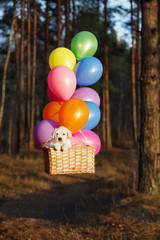 golden retriever puppy flying with air balloons