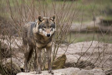 un loup dans les buissons