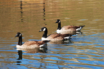 Three Canadian Geese Swimming in a Pond