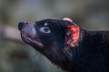 Tasmanian devil with a red ear