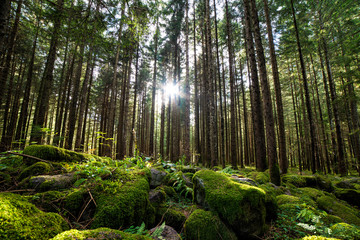 sunlight filtering through the trees in the forest