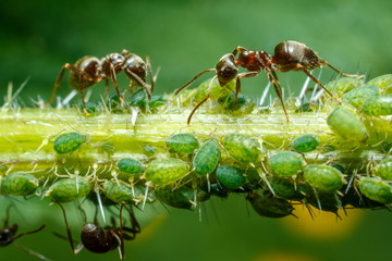 Ants taking care of aphids