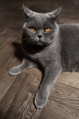 Grey British cat