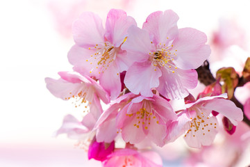 Pink Sakura, Cherry Blossom, is  the most beautiful flower