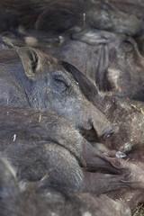 Group of warthogs sleeping