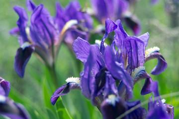 natural iris flowers