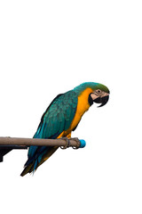 Parrot Isolated on white background