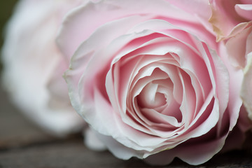 Close up pink rose