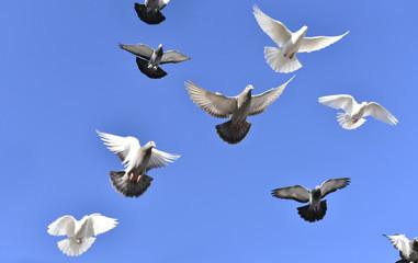 uçan güvercinler