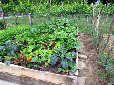 Vegetables in raised garden bed, permaculture garden