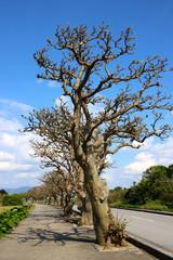 竹富島のデイゴの木