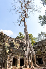 Huge tree growing over Ta Prohm Temple, Cambodia
