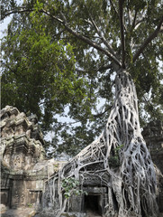 Strangler Fig tree growing over Ta Prohm, Cambodia
