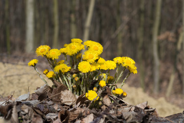 Coltsfoot flowers on background of forest