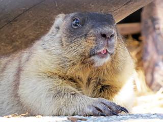 Beaver close-up