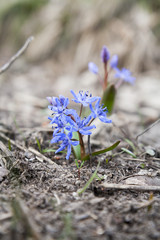 Wild growing blue snowdrop, Scilla bifolia, blue early spring flower