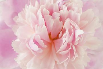 Peony flowers macro