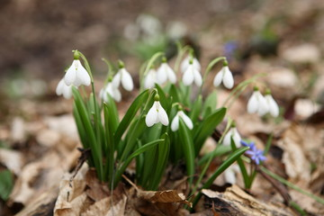 .The first spring flower - snowdrop (Galanthus nivalis)