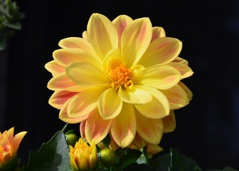 Dahlia - Gelbe Dahlienblüte vor schwarzem Hintergrund - Zwergdahlie