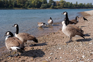 Wild geese at the shore of the Rhine at Mannheim in Germany.
