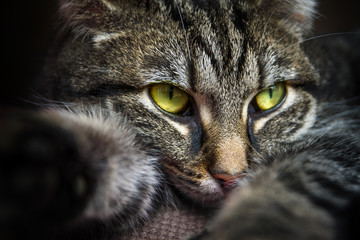 tabby cat with yellow green eyes lying on the couch, portrait closeup