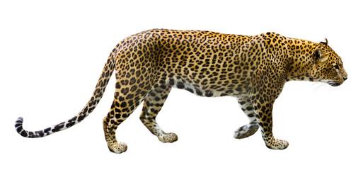 In de dag Luipaard Leopard male