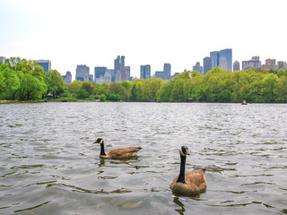 Two swans swim in the waters of the lake in Central Park with New York City skyline in the background, the United States.