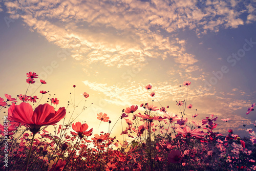 Wall mural Landscape nature background of beautiful pink and red cosmos flower field with sunshine. vintage color tone