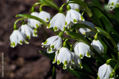 Snowdrops are the first spring flowers that bloom early spring snowdrops are the first spring flowers that bloom early spring mightylinksfo