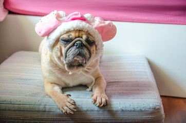 Cute dog Pug with sweet pink hat sleep rest on pad.