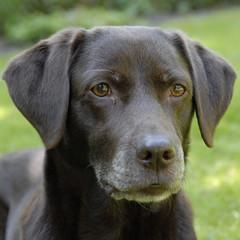Foto auf AluDibond Hund bruine labrador kijkt lief naar het baasje