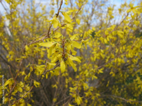 Bush Forsythia With Yellow Flowers In Early Spring Stock Photo And