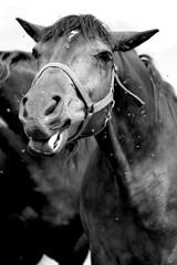 konie, koń, zwierzęta, ssaki, ssak, emocje, natura