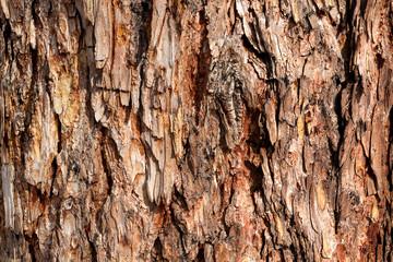 Bark of Pine Tree