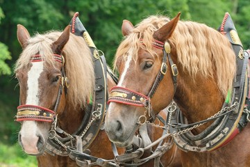 The heads of two brown horses