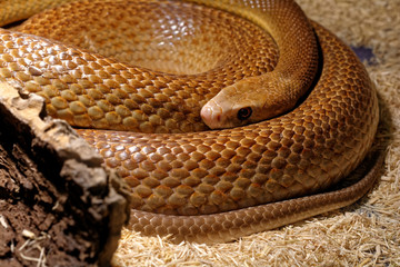 Snake in the terrarium - Coastal taipan
