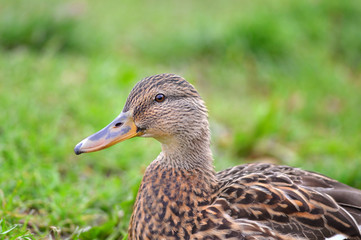 Portrait of a female duck on a green background