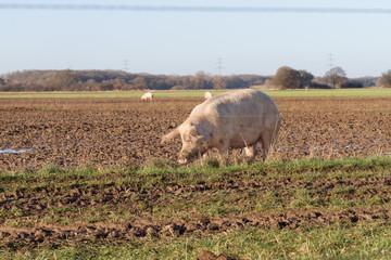 Schwein suhlt im Schlamm