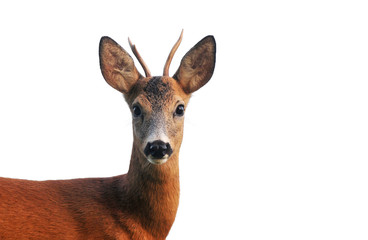 Close up of roe deer, isolated on white Wall mural